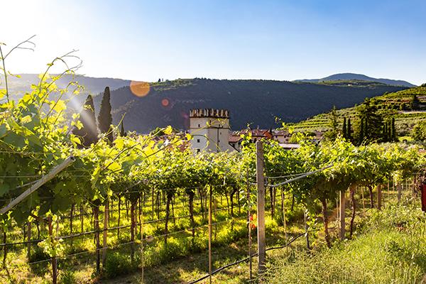 montalcino vineyard